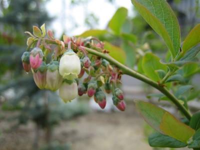 ブルーべりの花