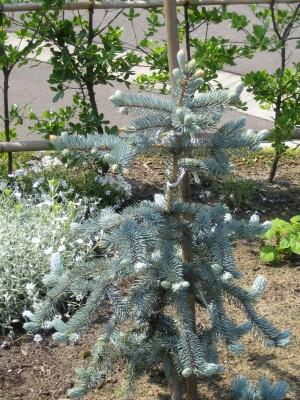 プンゲンストウヒ・ホプシー(Picea pungens Hoopsii)